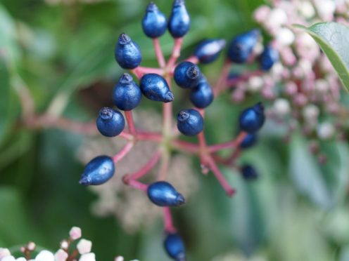 Viburnum tinus plant (Rox Middleton/University of Cambridge/PA)