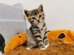 Hans, a kitten adopted through Cats Protection (Cats Protection)