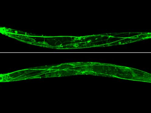 A microscopic image of the Caenorhabditis elegans worm used in the research (ESA/PA)