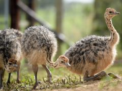 Scientists have said at least 40 bird families with flightless species roamed the Earth before a vast majority of them went extinct due to human-driven pressures (Ben Birchall/PA)