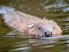 A beaver swimming at Holnicote (Ben Birchall/PA)