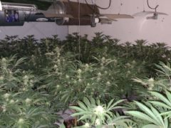 A phone slip-up led police to find a cannabis farm in Easington Lane, near Sunderland (Northumbria Police/PA)
