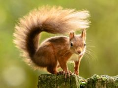 A red squirrel forages for food ahead of winter (Danny Lawson/PA)