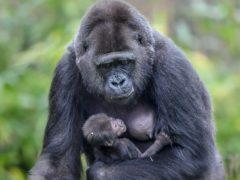 Touni and her baby at Bristol Zoo Gardens (Ben Birchall/PA)