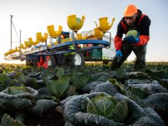 Workers harvest savoy cabbages at TH Clements near Boston in Lincolnshire (Joe Giddens/PA)