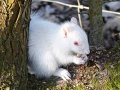 A rare albino squirrel sits on a tree in Sussex (Clive Marshall/PA)