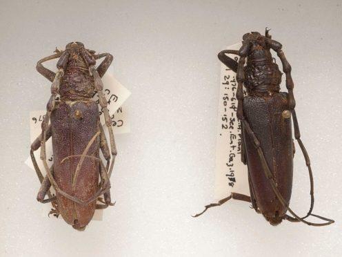 4,000-year-old Oak Capricorn beetles at the Natural History Museum (Trustees of the Natural History Museum/PA)