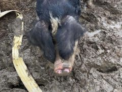 Firefighters rescued a 31-stone pig called Dolly who got stuck in the mud in Felsted, Essex (Essex County Fire and Rescue Service/PA)