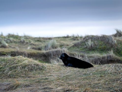 A rare melanistic seal pup at the National Trust's Blakeney National Nature Reserve in Norfolk (Hanne Siebers/ PA)