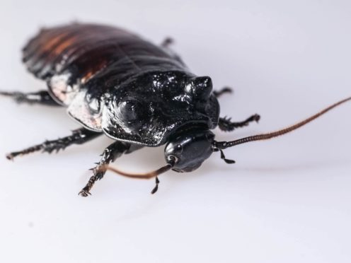 Cockroaches have hidden strength, study suggests (Dr Ian Skicko/PA)