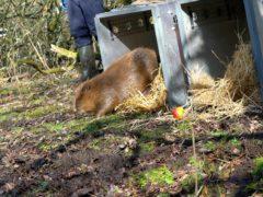 A pair of beavers have been released in Dorset (Dorset Wildlife Trust/James Burland/PA)