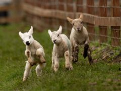 Spring lambs at Moreton Morrell College in Warwickshire (Jacob King/PA)