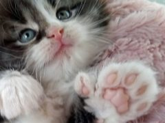 Fingle the kitten was born with an extra toe on each paw (Cats Protection/PA)