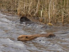 The beavers take to the water at Cors Dyfi Nature Reserve (Emyr Evans/Montgomeryshire Wildlife Trust/PA)