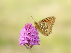 Dark green fritillary butterfly (Iain H Leach/Butterfly Conservation/PA)