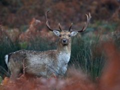Deer are believed to have been killed by dog attacks in Cumbernauld (Gareth Fuller/PA)