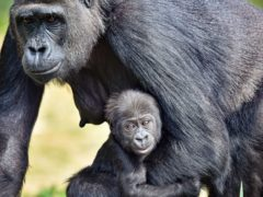 Bristol Zoo's baby western lowland gorilla has been named Juni after his parents, Jock and Touni (Ben Birchall/PA)