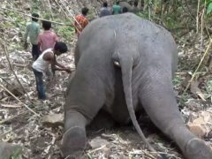 The elephants were found dead in the protected Kondali forest reserve in north eastern Assam state (KK Productions/AP)