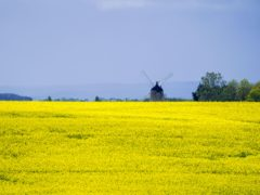 A field of rape seed near the windmill at Great Haseley in Oxfordshire (Steve Parsons/PA)