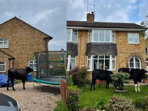The seven young bullocks were seen on lawns and driveways (David Harrison, BBC Radio Humberside)