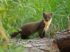 pine marten on log in Scotland (Mark Hamblin/2020VISION)