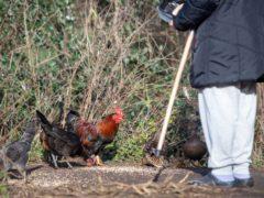 Bird flu, or avian flu, is caused by influenza viruses that spread between birds (PA)