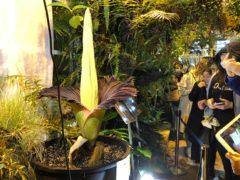 People come to see the rare blooming of the endangered Sumatran Titan arum (AP/Monika Scislowska)