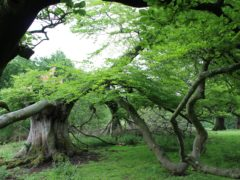 A 400-year-old walking beech tree on the Killerton estate being surveyed by the National Trust (Fi Hailstone/National Trust/PA)