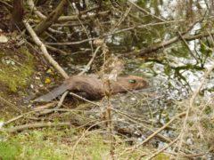 An adult beaver at Wild Ken Hill in Norfolk (Wild Ken Hill/PA)