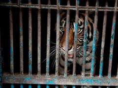 A sumatran tiger who contracting Covid-19 looks out from a cage at the Ragunan Zoo in Jakarta (Jakarta Provincial Government/AP)