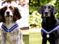 RAF police dogs Alfie (left) and AJ have been awarded the PDSA Order of Merit (PDSA)