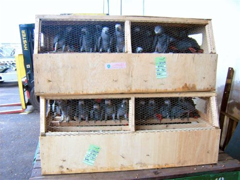 Grey parrots destined for the pet trade confiscated in Cameroon (LAGA Wildlife Law Enforcement/PA)
