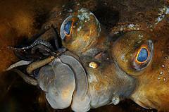 Fish Leeches (Piscicola geometra) in European Flounder (Platichthys flesus) Eastern Gotland Basin, Sweden © OCEANA/ Carlos Minguell