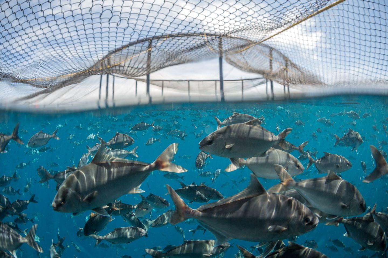 The Kampachi Company has won ASC certification for its sustainable offshore farm near La Paz (photo: the Kampachi Company)