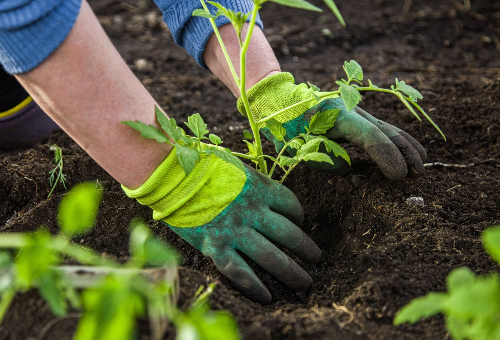 planting young seedlings in vegetable plot