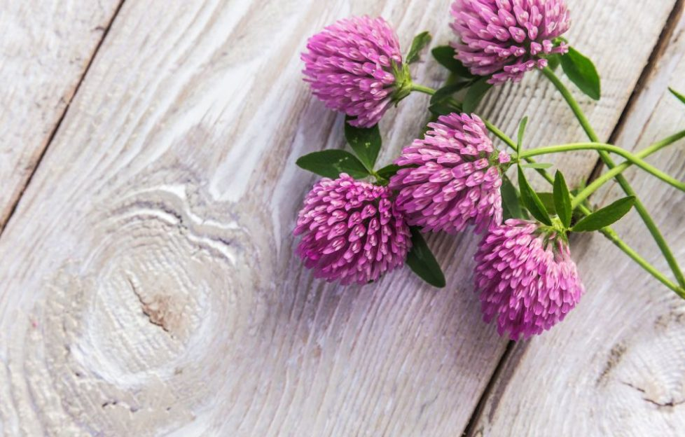 red clover herb on wooden table
