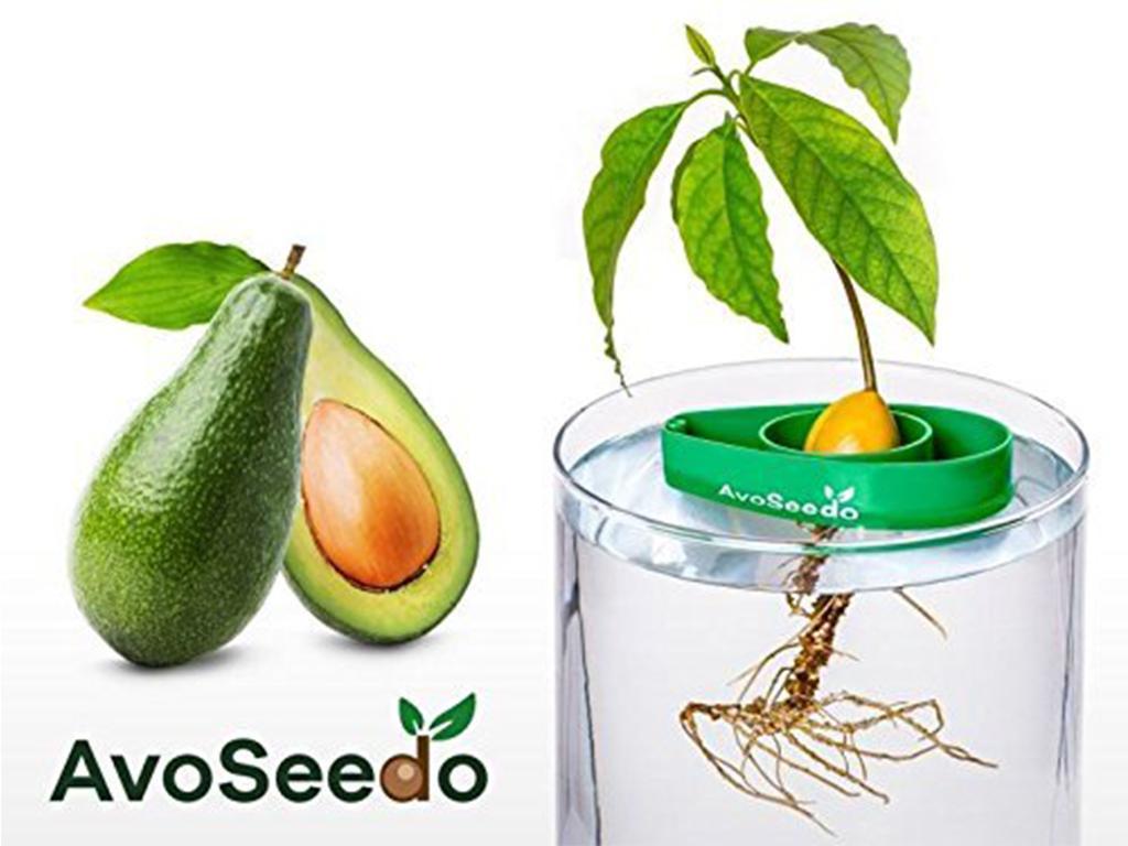 Grow avocado tree