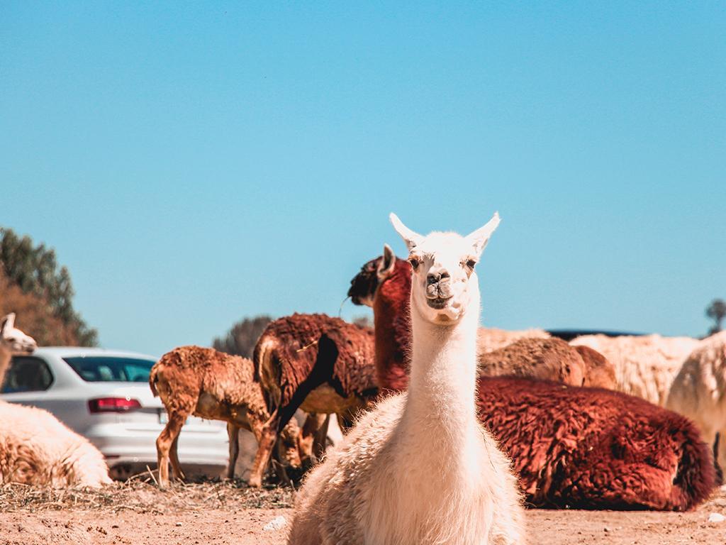 airbnb alpaca experience