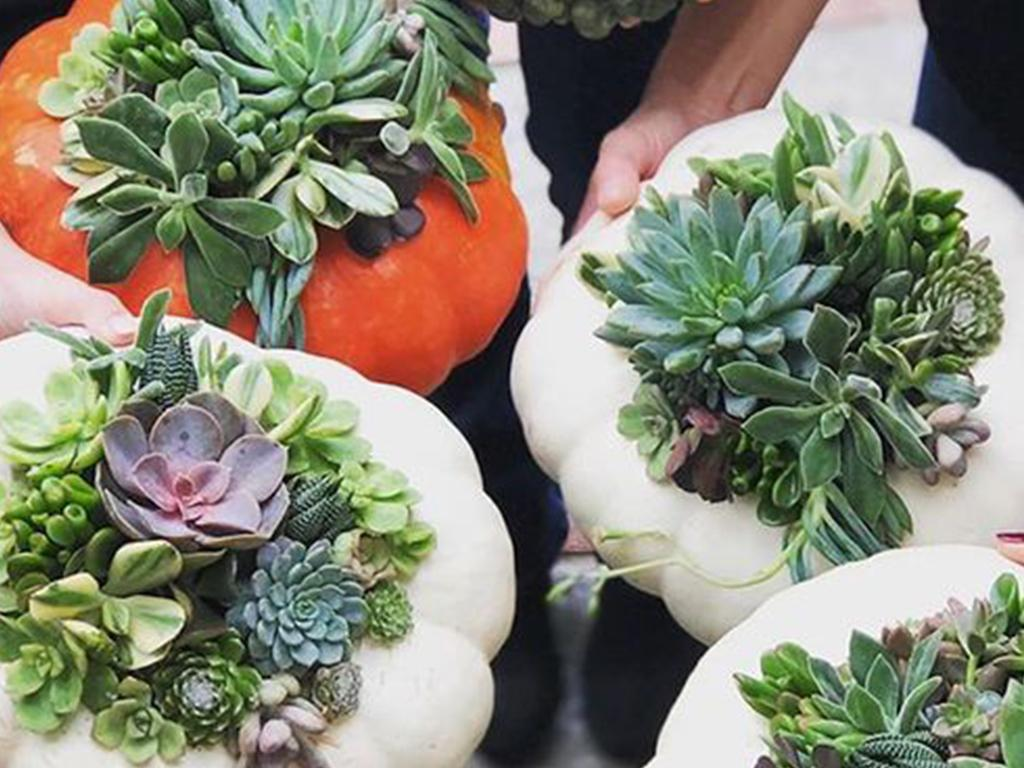 halloween pumpkin succulents