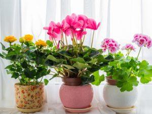 aldi valentines day plants