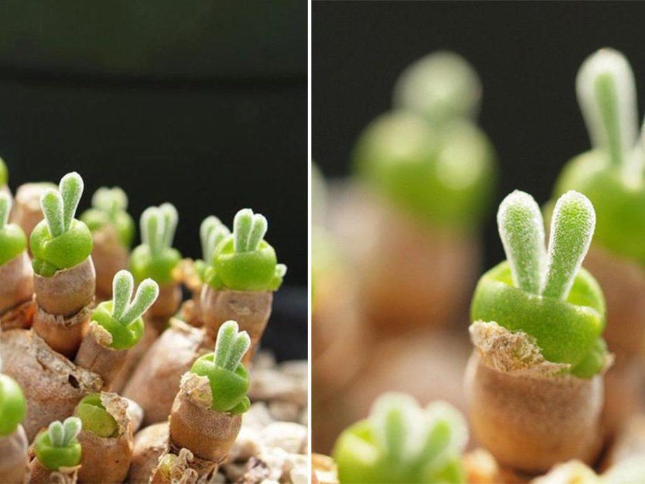 easter bunny succulent plants