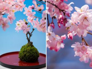 cherry blossom bonsai trees