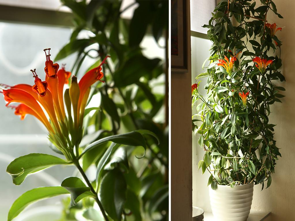 indoor climbing vine plants
