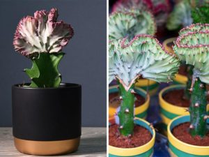 These Adorable Succulents Are Shaped Just Like Mermaid Tails