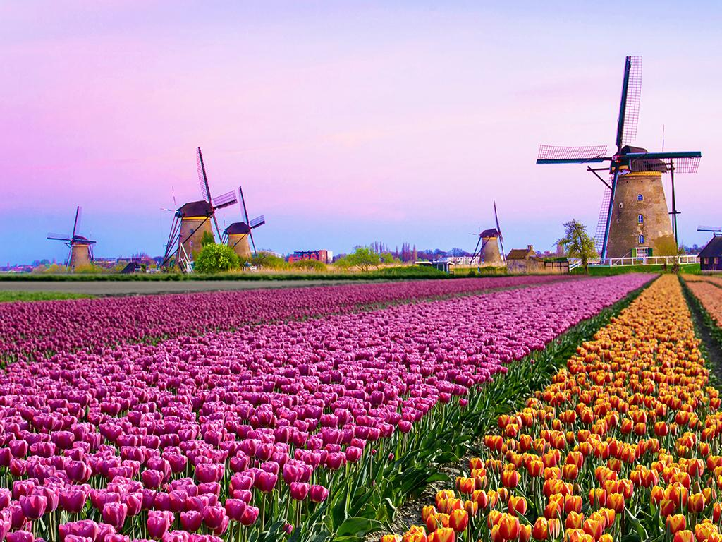 tulips in holland