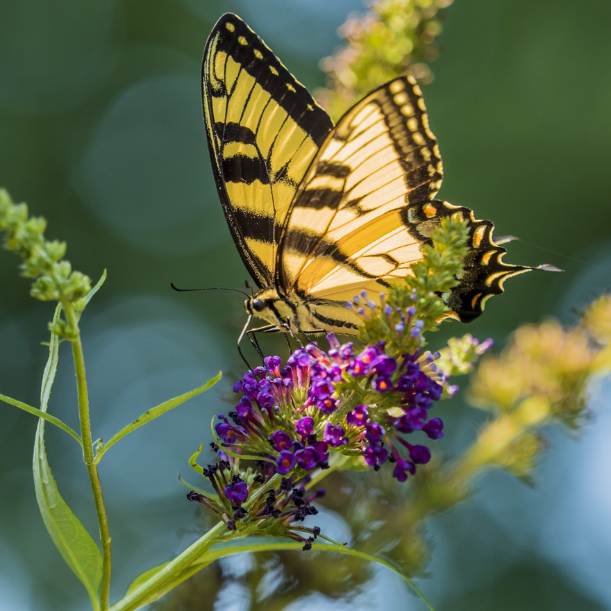 A swallowtail butterfly
