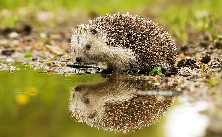 A hedgehog drinking
