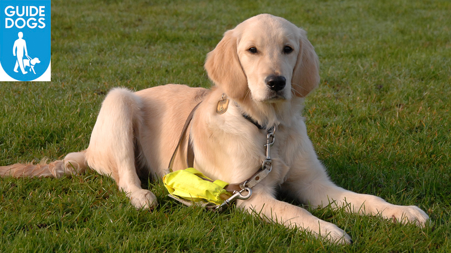A Guide Dog puppy in training