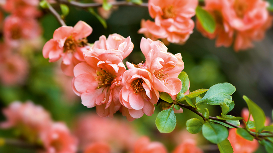 Branch of quince bush with delicate peach flowers