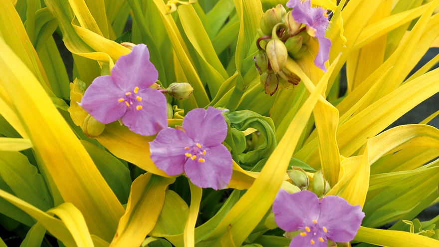Exotic pale violet flowers with three petals and bright yellow leaves